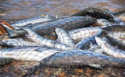 У Новодністровську засудили чоловіка, який незаконно виловив риби на 12 тис грн