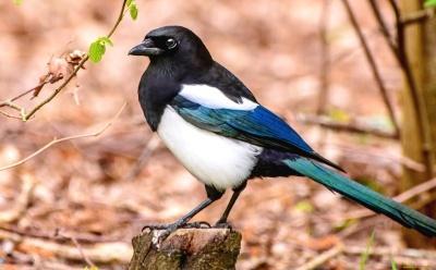 Куди з Буковини поділися сороки: орнітолог розповів, чому птахів стає менше