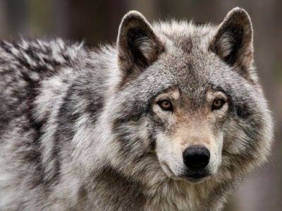 Чернівчанин дресирував хижаків і гуляв містом із вовком
