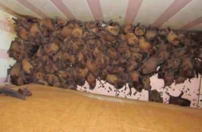 На балконі квартири у Львові виявили півтори тисячі кажанів: вони парувалися