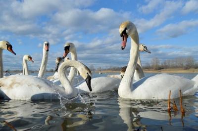Лебедині озера: на Буковину прилетіла майже сотня шипунів