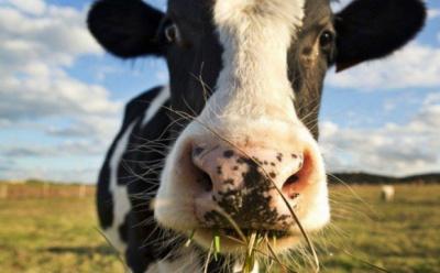 На Буковині на два роки засудили чоловіка, який вкрав з пасовища двох корів