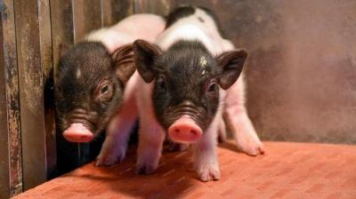 Народились перші свині, чиї органи можна пересаджувати людям