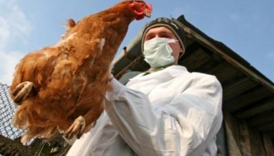 У Польщі спалах пташиного грипу. Знищать щонайменше 65 000 курей