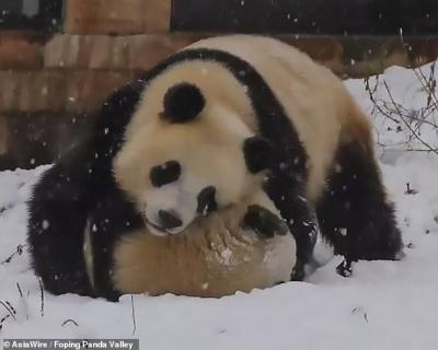 Китай засніжило: панди грайливо борються у снігу - фото
