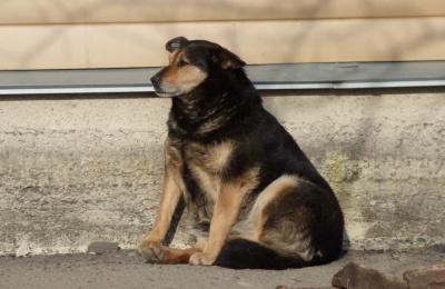 Чернівчан закликають повідомляти про нестерилізованих тварин на вулицях міста