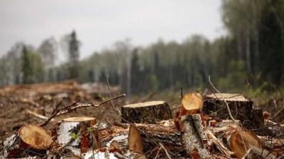 У національному природному парку на Буковині невідомі зрізали майже 300 дерев