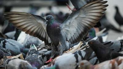 Голуби гинуть у вентиляційних шахтах: мешканці багатоповерхівок у Чернівцях потерпають від смороду