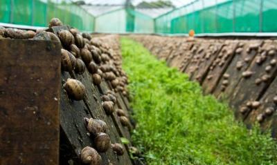 В Україні набувають популярності равликові ферми