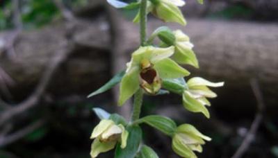 У лісі на Буковині ростуть рідкісні орхідеї