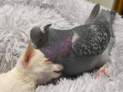 Цуценя чихуахуа подружилося з голубом: кумедні фото