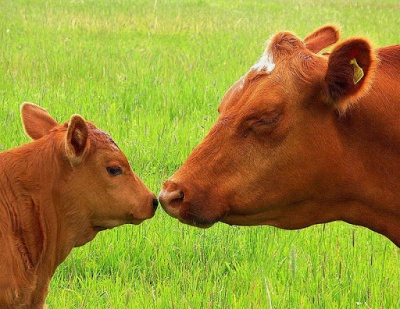 На фермах Буковини для осіменіння корів почали використовувати сексовану сперму