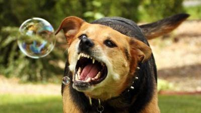 Скажений собака в Чернівцях покусав жінку: тварина померла