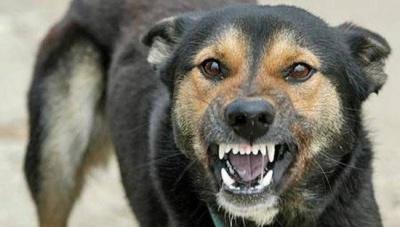 У Чернівцях зафіксували другий випадок сказу в собаки