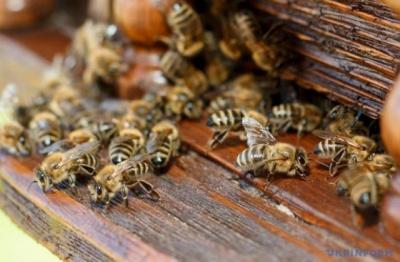 Тепла зима: на Буковині бджоли почали літати вже у лютому