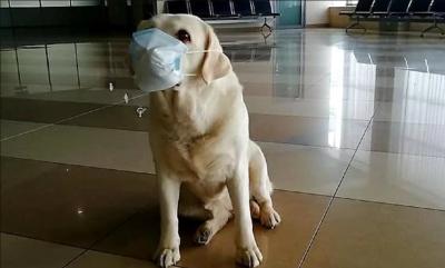 Прикордонних песиків одягли у захисні маски через коронавірус - фото