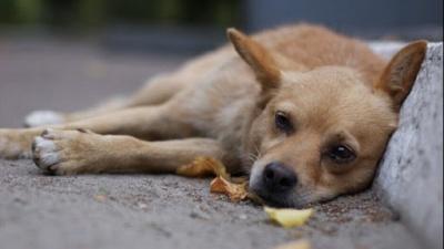 У Чернівцях померли два собаки, яких могли отруїти миш'яком