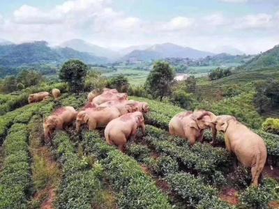 Милість дня: 14 слонів прийшли в китайське село, напилися там кукурудзяного вина і заснули — фото