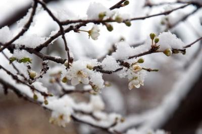 В Україні знову вдарять морози: під загрозою квіти та плодові дерева