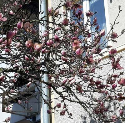 У Чернівцях розквітли магнолії, яблуні й алича - фото