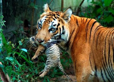 У зоопарку Нью-Йорка коронавірус зафіксували у тигрів та левів