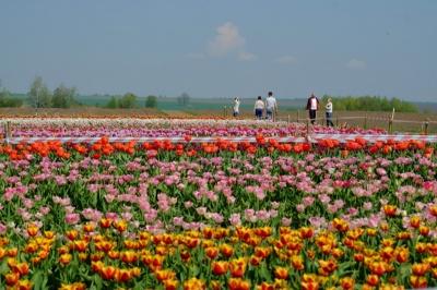 Тюльпанові поля на Буковині розквітли: чи будуть пускати відвідувачів