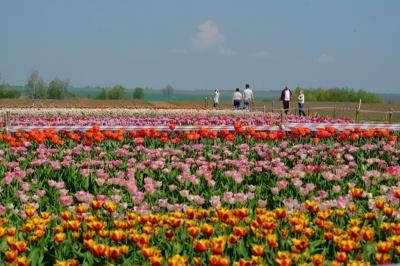 На Буковині покарали власника тюльпанового поля, на яке пускали людей