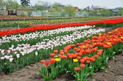 На Буковині закрили тюльпанові поля, квіти зривають і викидають – відео