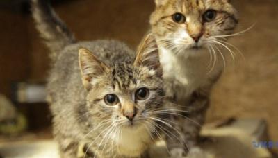 Дослідники: Коти теж хворіють на COVID-19 і можуть передавати вірус
