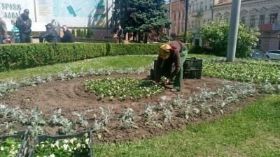 Бегонії та чорнобривці: у Чернівцях на Центральній площі висаджують квіти