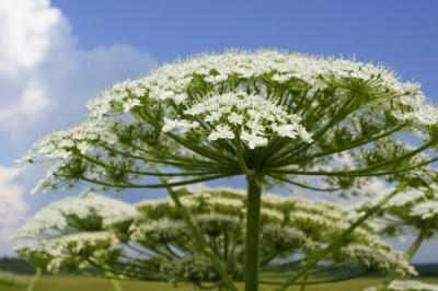 У Чернівцях знищать небезпечну рослину