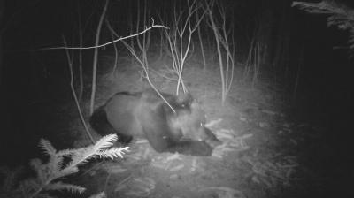 На Буковині лісівники зафіксували на відео бурого ведмедя
