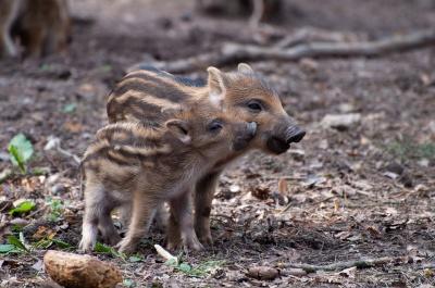 На Буковині у лісництві народилися троє диких поросят – фото