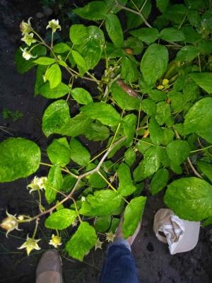 Руді слимаки «атакують» городину в Чернівцях: на дачах наробили шкоди