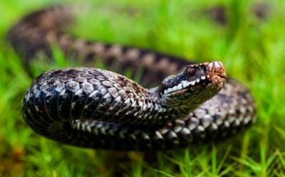 На Буковині чоловік потрапив у лікарню через укус змії