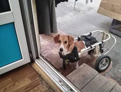 Пересувається на візку: чернівчан просять допомогти собаці, який потребує лікування