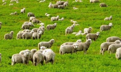 На Буковині фермери, які займаються вівчарством, можуть отримати гроші від держави