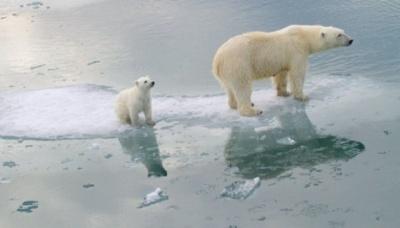Білі ведмеді можуть зникнути до кінця століття - вчені