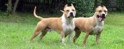 На Буковині двоє бійцівських собак накинулись на хлопця з інвалідністю