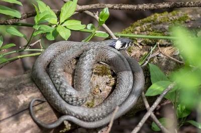 «Боюсь випускати дітей на вулицю»: жителі району на Буковині скаржаться на нашестя змій