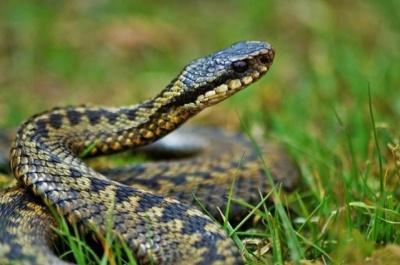 На Буковині чоловік потрапив до реанімації через укус змії