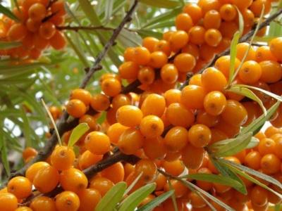 Вітамінів більше, ніж у цитрусових: на Буковині розпочався сезон обліпихи