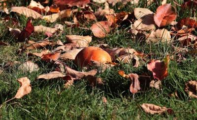 Чому в Чернівцях наприкінці літа вже опадає листя: експертка пояснила причину