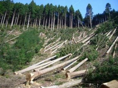 На Буковині судитимуть працівника НПП «Вижницький», який допустив вирубку сотні дерев