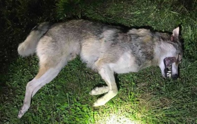 Вовки з Буковини атакували Снятин: мер закликав жителів не виходити в поле