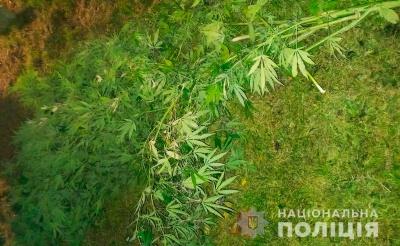 У Чернівцях чоловік у себе на подвір'ї вирощував коноплі
