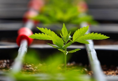 У США ще у двох штатах легалізували марихуану. Ще в одному - галюциногенні гриби