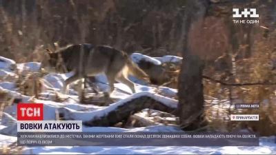 Голодні вовки атакували селище на Прикарпатті - відео