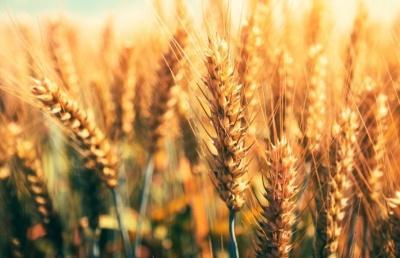 Жнива-2020: Буковина у переліку областей з найнижчим урожаєм