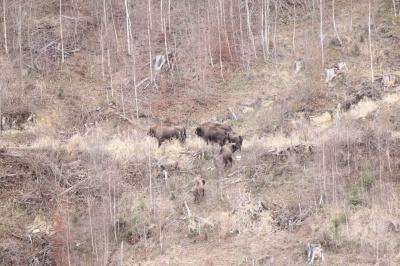 «Вони величні і прекрасні»: на Буковині відновлюють популяцію зубрів - фото